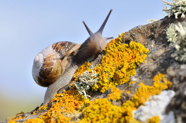 Common snail {Helix aspersa}, on lichen covered rock, The Lizard, Cornwall, UK. August