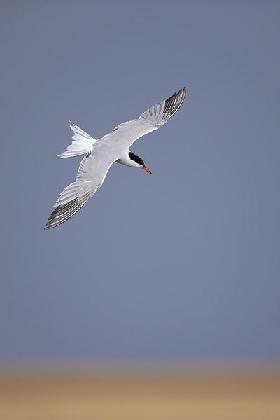 Common tern (Sterna hirundo) in flight, Norfolk, UK, August