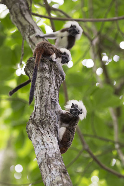 Cotton-top tamarin (Saguinus oedipus), three climbing tree. Northern Colombia
