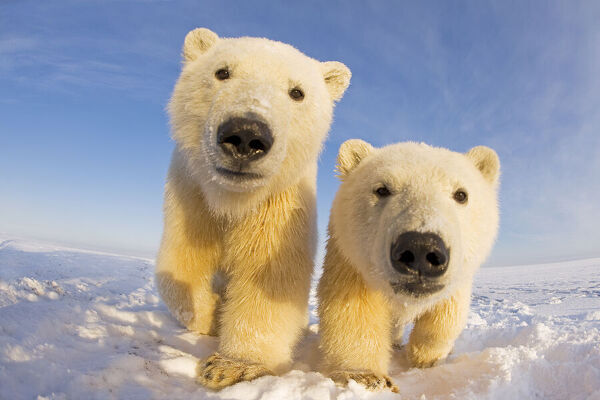 Two curious young Polar bears (Ursus maritimus), Barter Island, off the 1002 area of the Arctic National Wildlife Refuge, North Slope of the Brooks Range, Alaska, October 2011