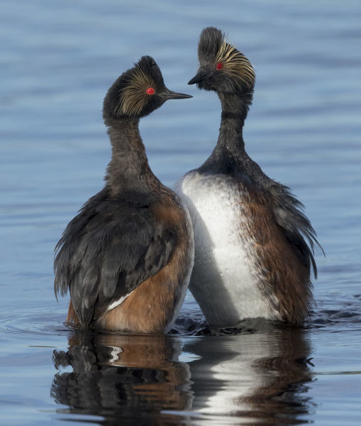Eared grebes (Podiceps nigricollis) stand erect in water during courtship, North Park