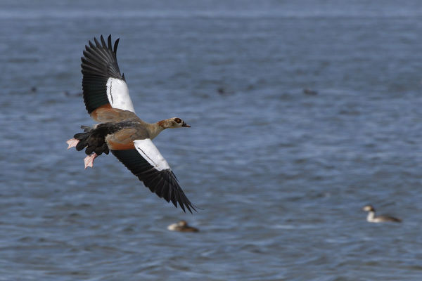 Egyptian goose (Alopochen aegyptiacus) in flight over Rutland Water, Rutland, UK, August