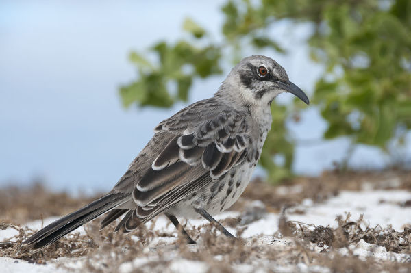 Espanola mockingbird (Mimus macdonaldi) on beach, Galapagos
