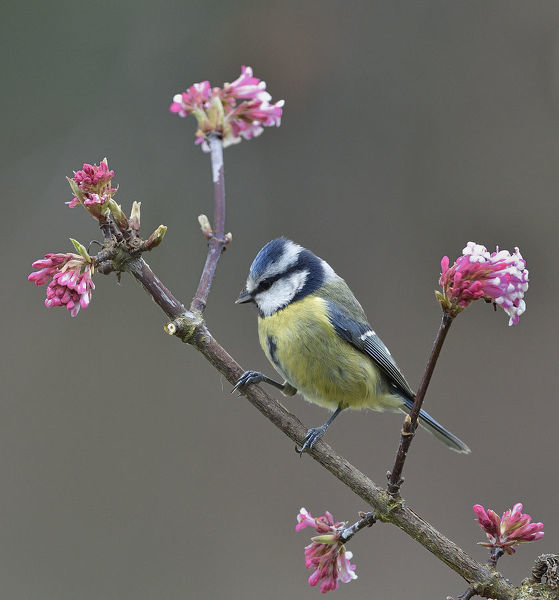 Eurasian blue tit (Cyanistes caeruleus) on a branch, Vendee, France, January