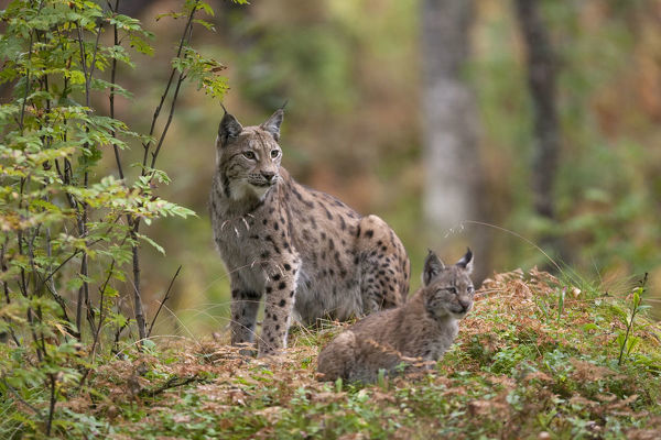 Eurasian lynx (Lynx lynx) with kitten in autumnal boreal forest, captive. Norway. September