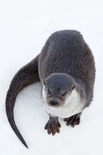 European Otter (Lutra lutra) standing on ice. Captive. The Netherlands, January