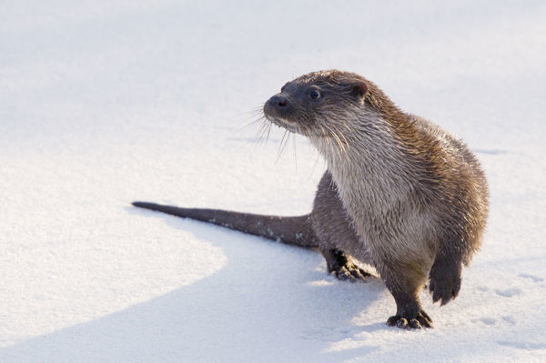 European Otter (Lutra lutra) standing on snow, lifting one paw to keep it warmer. The Netherlands, December. Captive