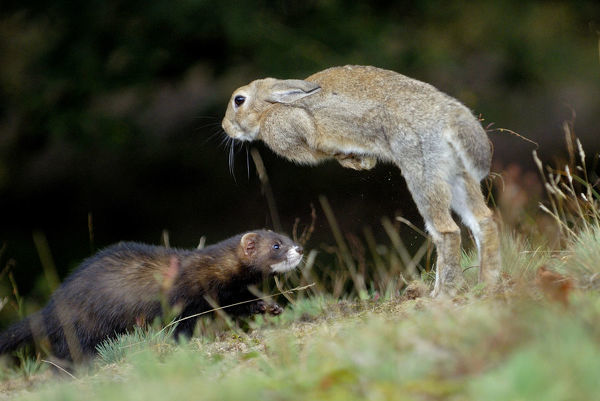 European polecat (Mustela putorius) hunting rabbit which is jumping to escape, Veluwezoom National Park, Netherlands
