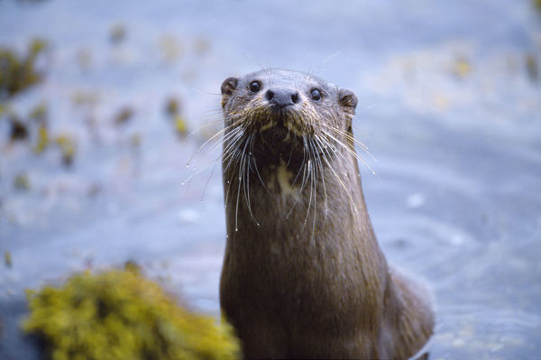 Female River otter (Lutra lutra) on sea loch, Torridon, Wester Ross, Scotland, July