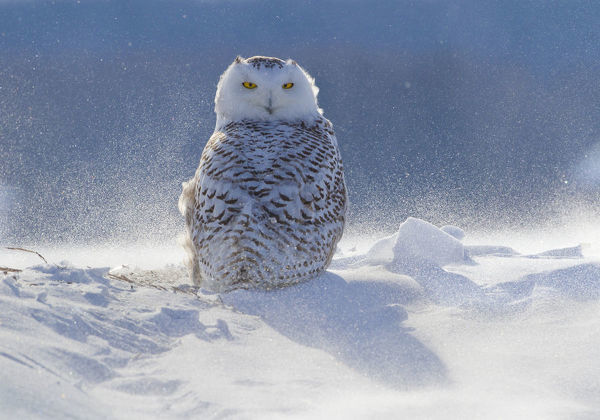 Female Snowy owl (Nyctea scandiaca) backlit surrounded by blowing snow, near Georgian Bay, Ontario, Canada