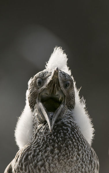 Gannet (Morus bassanus) chick with fluffy with mouth open. Shetland Islands, Scotland, UK, August