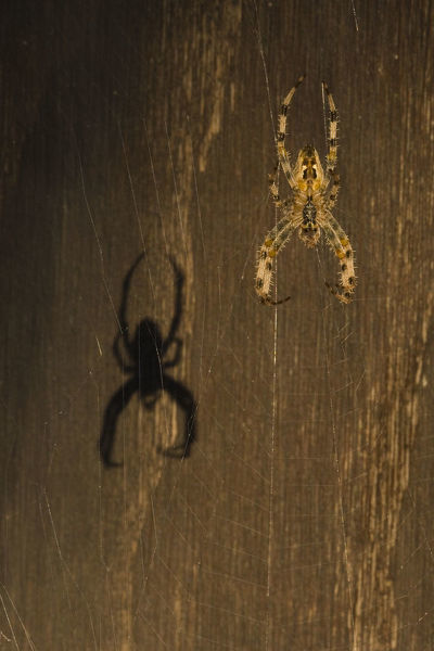 Garden spider (Araneus diadematus) hanging on web with shadow behind, Belgium