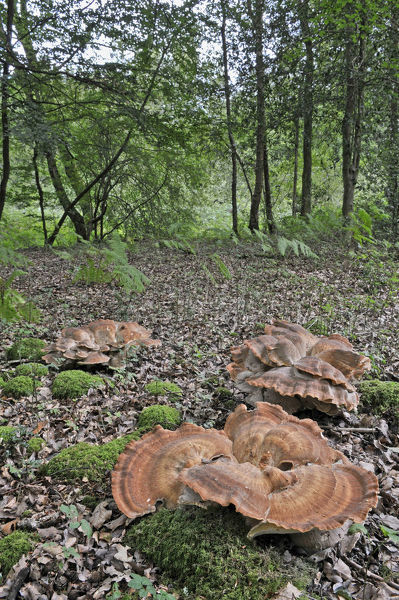 Giant Polypore fungus (Meripilus giganteus) growing in clusters on woodland floor, UK, August