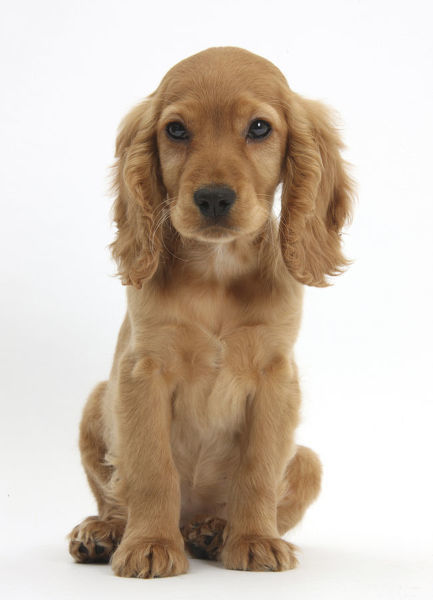 Golden Cocker Spaniel puppy, Maizy, sitting