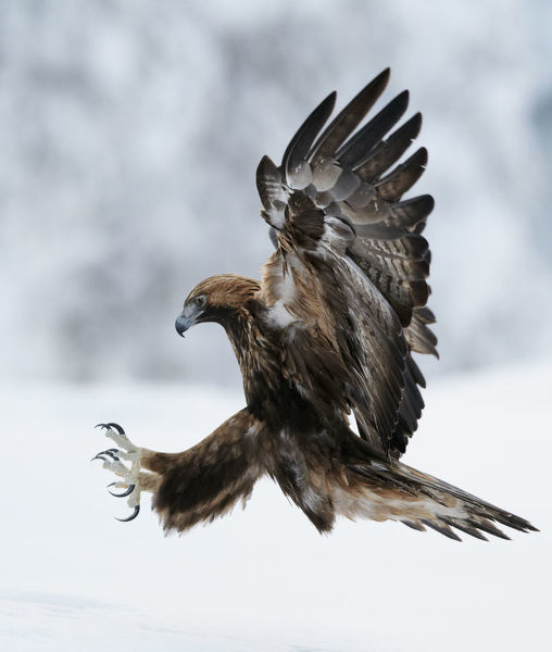 Golden Eagle (Aquila chrysaetos) coming in to land with claws spread. Kuusamo, Finland, February