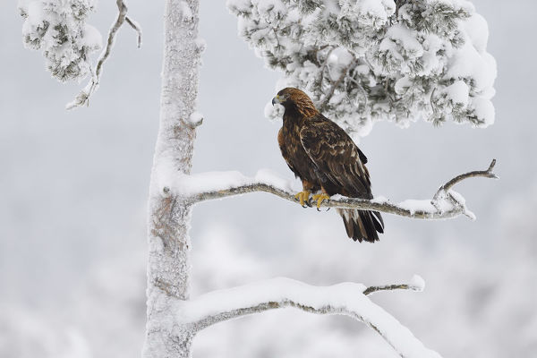Golden eagle (Aquila chrysaetos) perched in snow covered tree. Kalvtrask, Vasterbotten, Lapland, Sweden. January