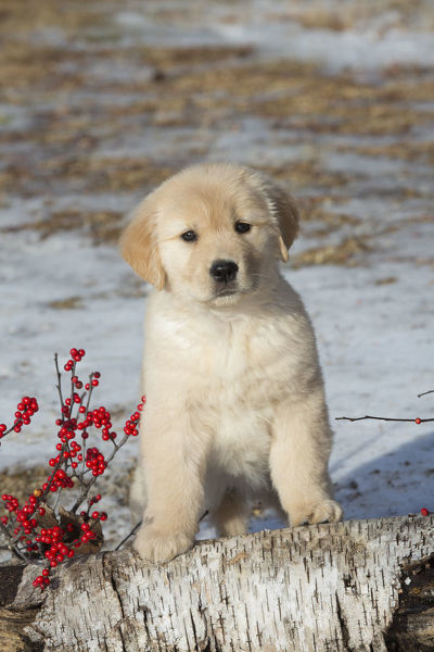 Golden Retriever Puppy Age 9 Weeks In Early January 15336972