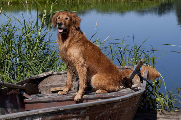 Golden retriever sitting on boat beside water, USA