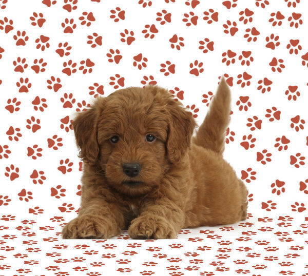Golden Retriever X Poodle F1b Goldendoodle Puppy On Paw Print Background As A A1 84x59cm Poster