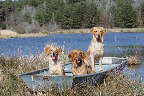 Golden retrievers in boat {Canis familiaris} USA