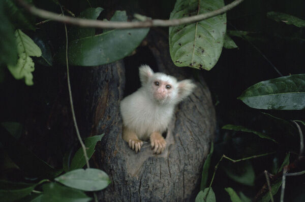 Golden-white tassel-ear marmoset  /  Silky marmoset coming out of night nest hole