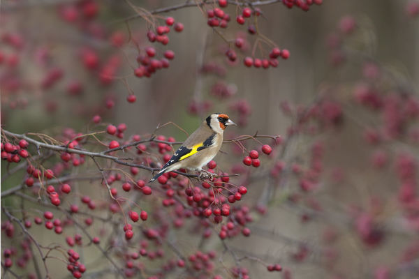 Goldfinch (Carduelis carduelis) perched amongst Hawthorn berries, UK