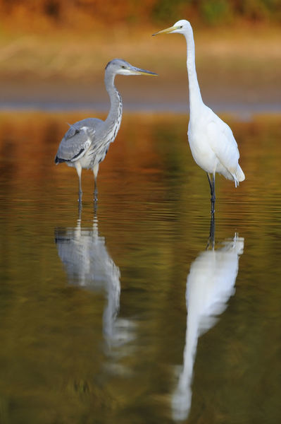 Great egret (Ardea alba) and a Grey heron (Ardea cinerea) standing in water, Elbe Biosphere Reserve, Lower Saxony, Germany, September 2008