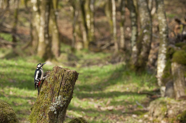 Great spotted woodpecker (Dendrocopos major) in woodland setting. Scotland, UK, March