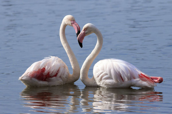Greater flamingo (Phoenicopterus roseus) pair at rest in water, Cape Town, South Africa