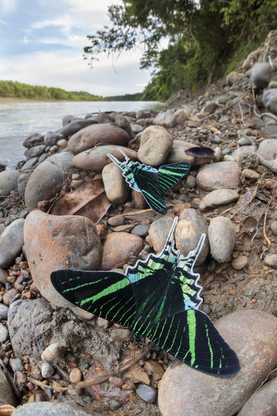 Green-banded urania moth (Urania leilus) moths drinking salts from mineral-rich river clay, a behaviour know as 'puddling'. On the banks of the Manu River, Manu Biosphere Reserve, Amazonia, Peru. November