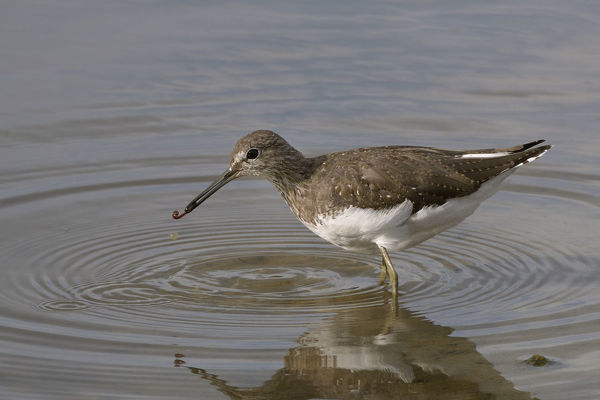 Green sandpiper (Tringa ochropus) with small worm it has caught in shallow freshwater lake, Gloucestershire, UK, August