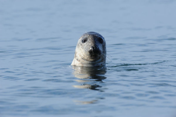 Grey Seal (Halichoerus grypus) with its head out of the water. Bardsey Island, North Wales, UK, August
