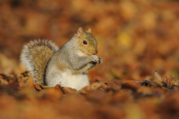 Grey Squirrel (Sciurus carolinensis) feeding among autumn leaves, Kent, UK. November 2012