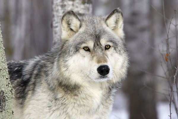 Prints Of Grey Wolf Canis Lupus In Forest Captive Usa