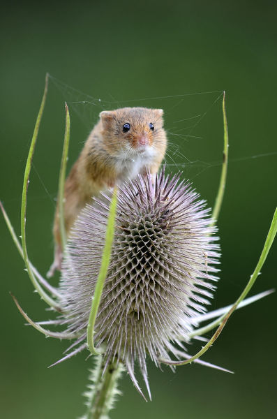 Harvest mouse (Microymys minutus) on teasel seed head. Dorset, UK August. Captive