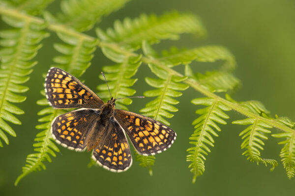 Heath fritillary butterfly (Melitaea athalia) basking on Bracken (Pteridium aquilinum)