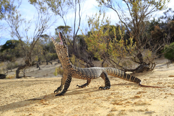 Heath Monitor (Varanus rosenbergi) male enacting a threat display, in mallee/heath habitat near Pinnaroo, South Australia