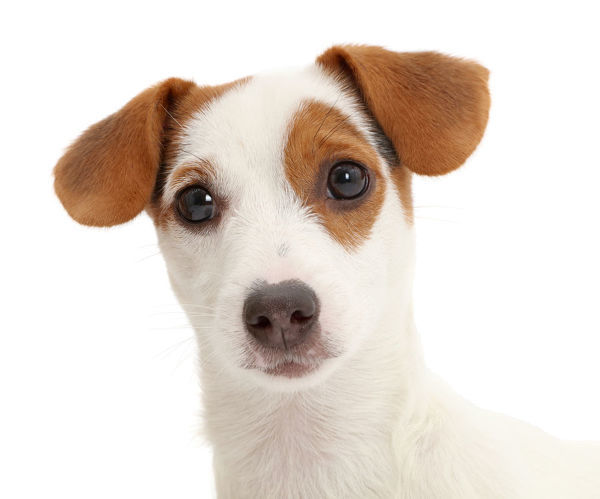 jack russell terrier puppy photo prints 15336950 from nature