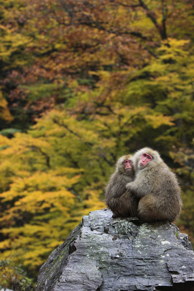 Japanese macaque / Snow monkey {Macaca fuscata} female and young huddle together on rock in autumn woodland, Jigokudani, Nagano, Japan