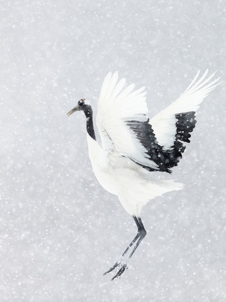 Japanese / Red-crowned crane (Grus japonicus) one coming into land, Hokkaido Japan February
