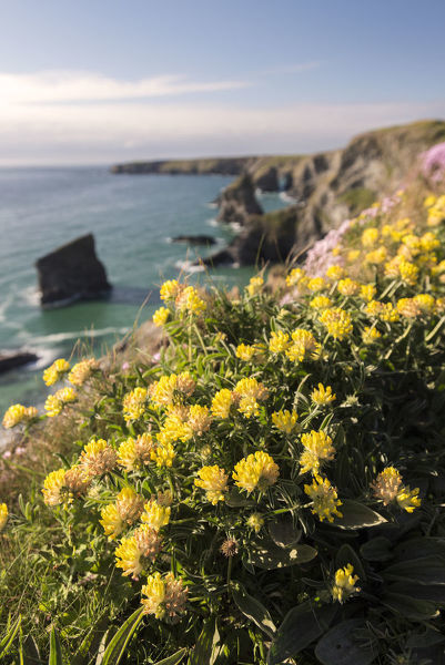 Kidney vetch anthyllis vulneraria flowering on cliff tops kidney vetch anthyllis vulneraria flowering on cliff tops bedruthan steps near newquay mightylinksfo