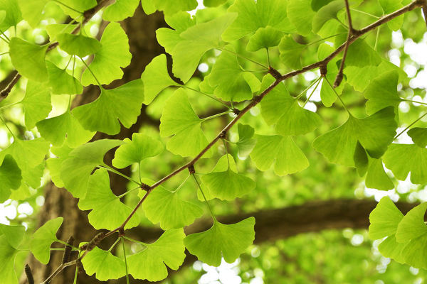 Leaves of a Ginkgo tree or Maidenhair tree (Ginkgo biloba (#18204583)