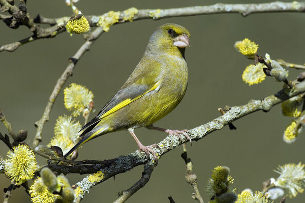 Male Greenfinch (Carduelis chloris) amongst Pussy willow catkins, Hertfordshire, England, UK