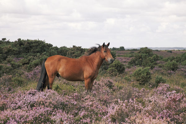 Male New Forest Pony looking alert and listening with ears pricked standing among blooming Common Heather or Ling (Calluna vulgaris) on Hampton Ridge, New Forest National Park, Hampshire England, UK, August
