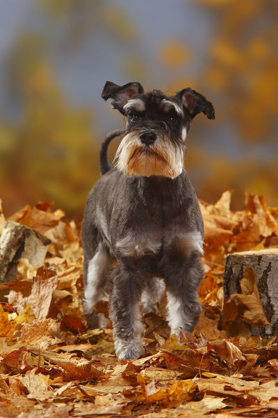 Miniature Schnauzer, black-silver coated, standing in autumn foliage