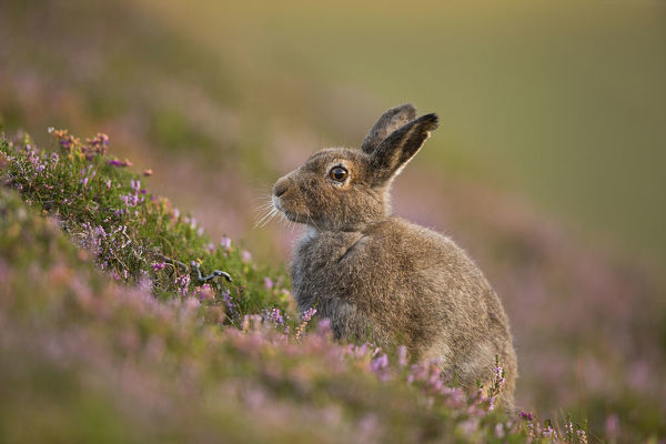 Mountain hare (Lepus timidus) in summer pelage amongst heather, Cairngorms National Park, Scotland, UK, August