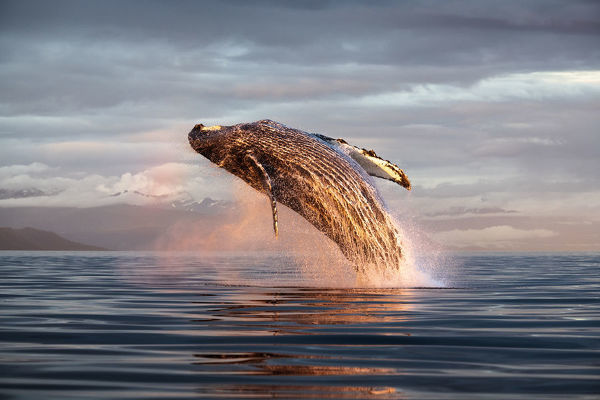 North Pacific humpback whale (Megaptera novaeangliae kuzira) breaching at sunset, Kupreanof Island