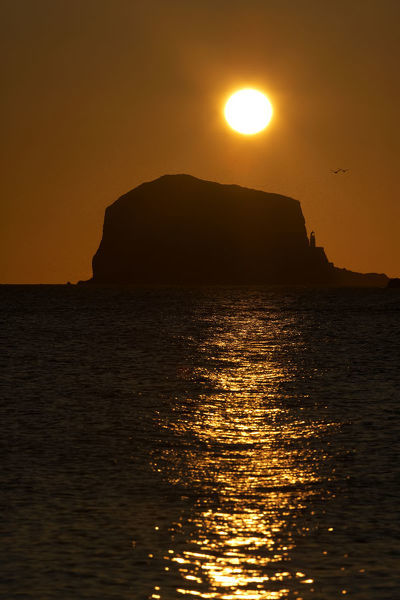 Northern gannet (Morus bassanus) colony in flight over Bass Rock at sunrise, Firth of Forth, Scotland, August 2009