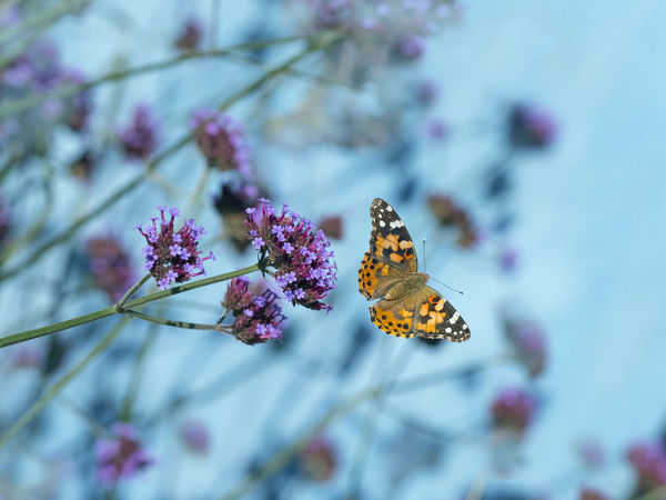 Painted lady butterfly (Cynthia cardui) feeding on Verbena flowers in flight, England, UK. August
