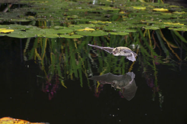 Pipistrelle bat (Pipistrellus pipistrellus) flying low over water. Surrey, England, August